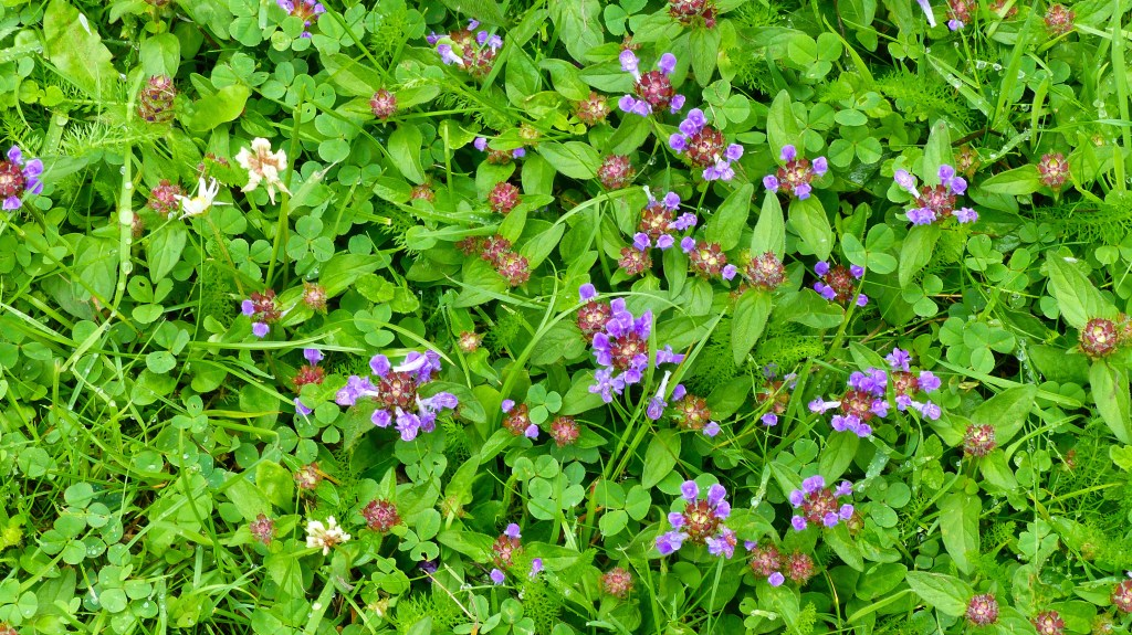Purple flowers of Selfheal with white daisies in the grass
