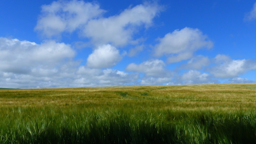 Barley crop in July with blue sky and white clouds