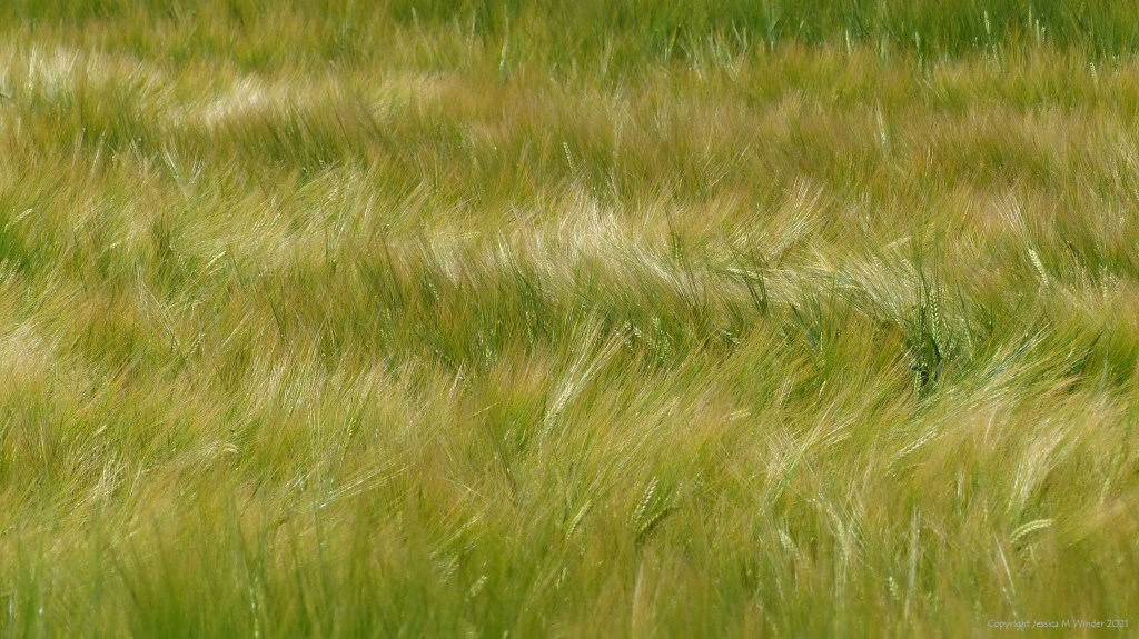 Abstract patterns and textures in a field of barley moving in the breeze