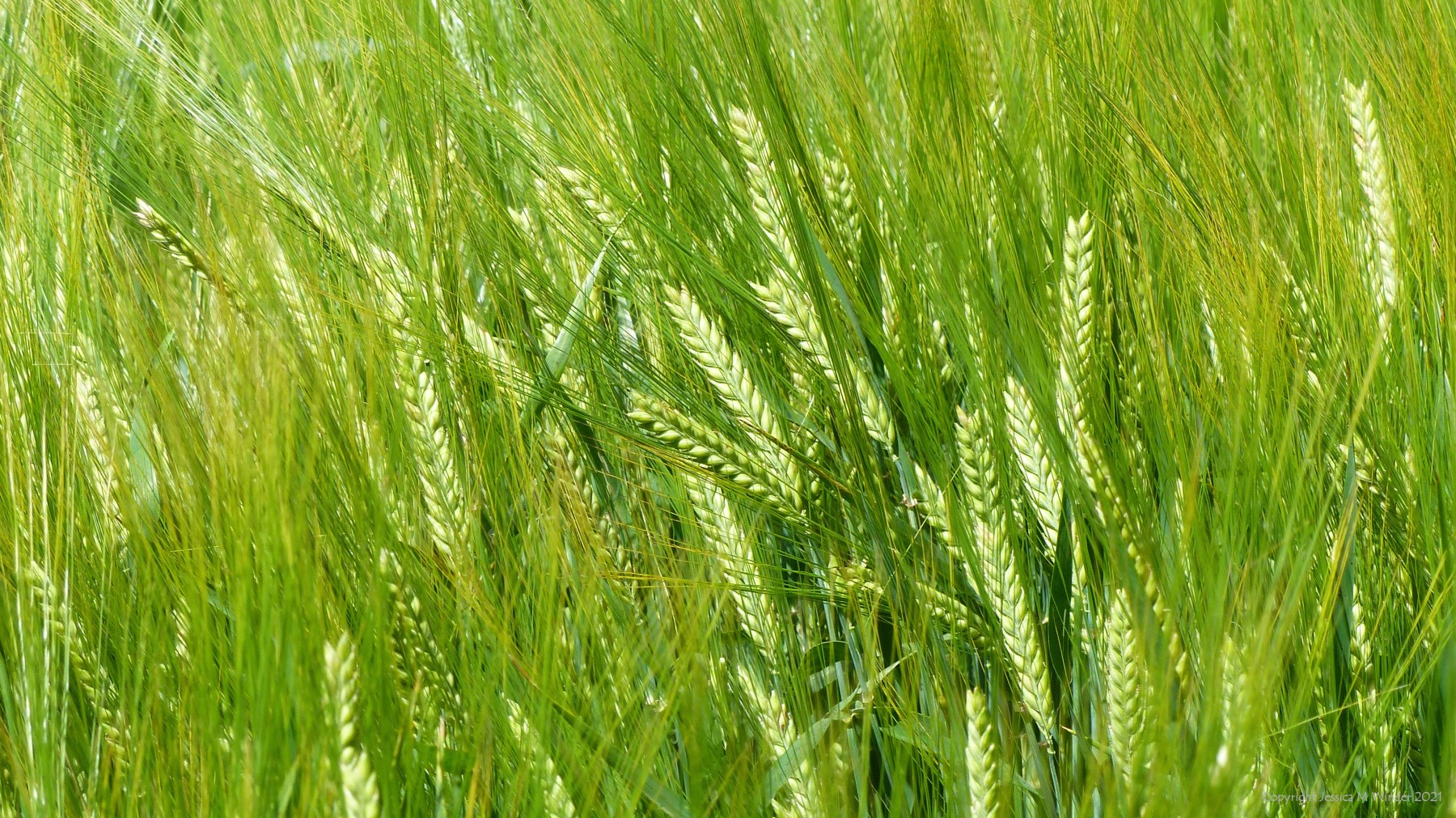 Green barley seed-heads and whiskers