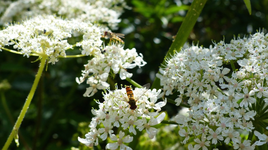 Hover-flies on hogweed flowers