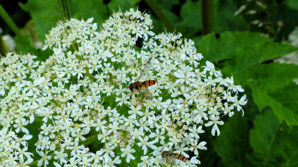 Hover-fly on hogweed flowers