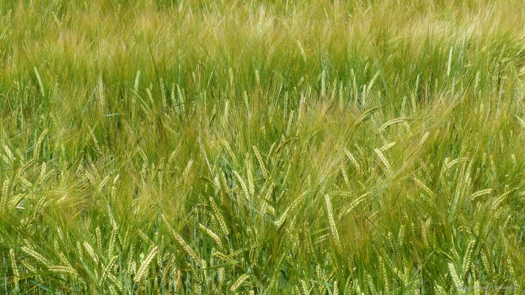 Abstract patterns and textures in a field of barley
