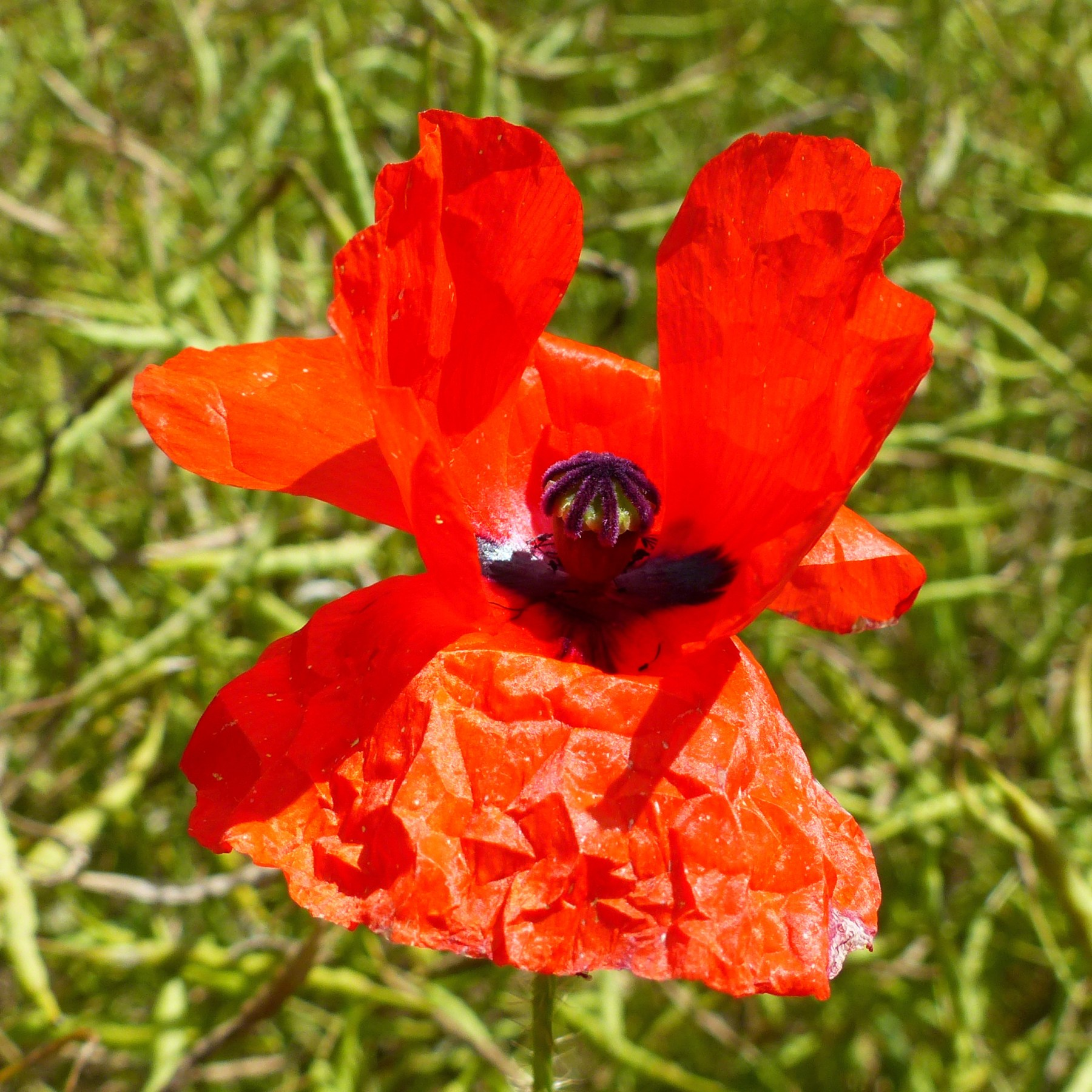 Red poppy flower among rapeseed pods in a field