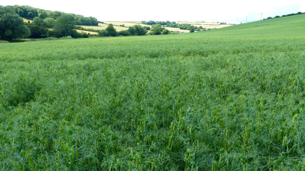 Peas growing as a field crop