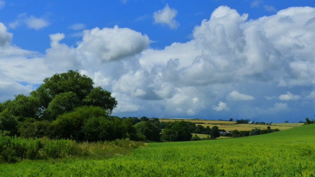 Field of peas at Charlton Down in Dorset with blue sky and white clouds