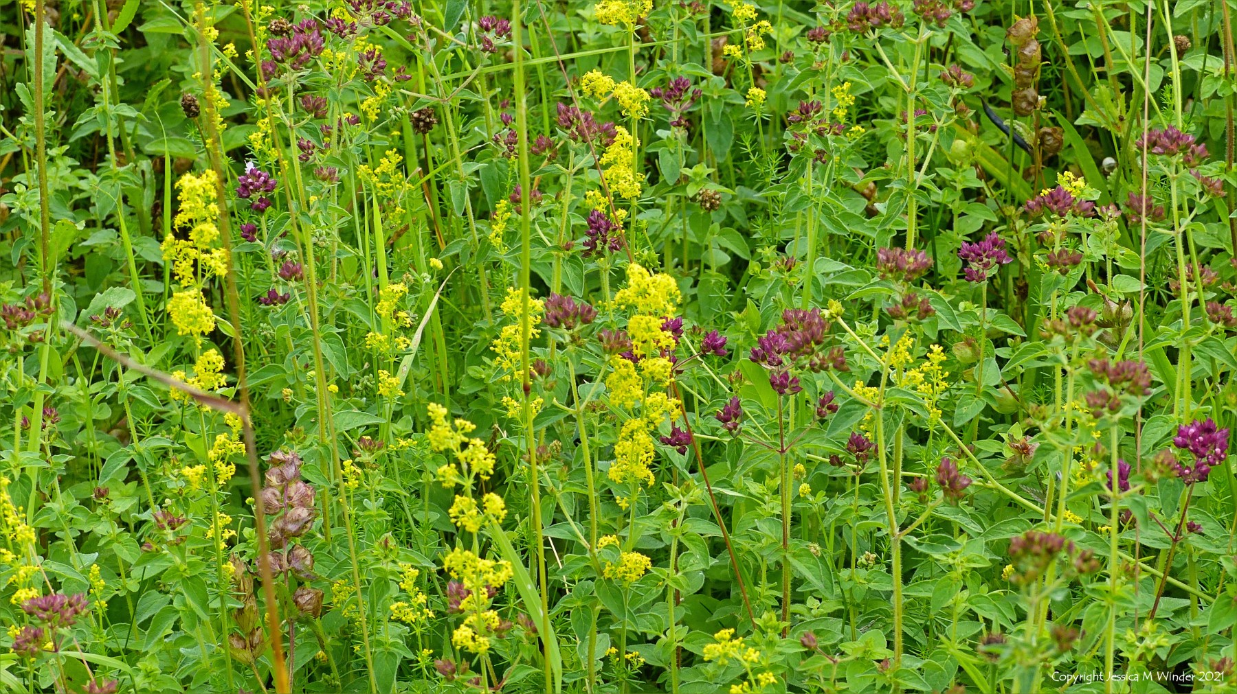 Yellow flowers of Lady's Bedstraw with Wild Marjoram