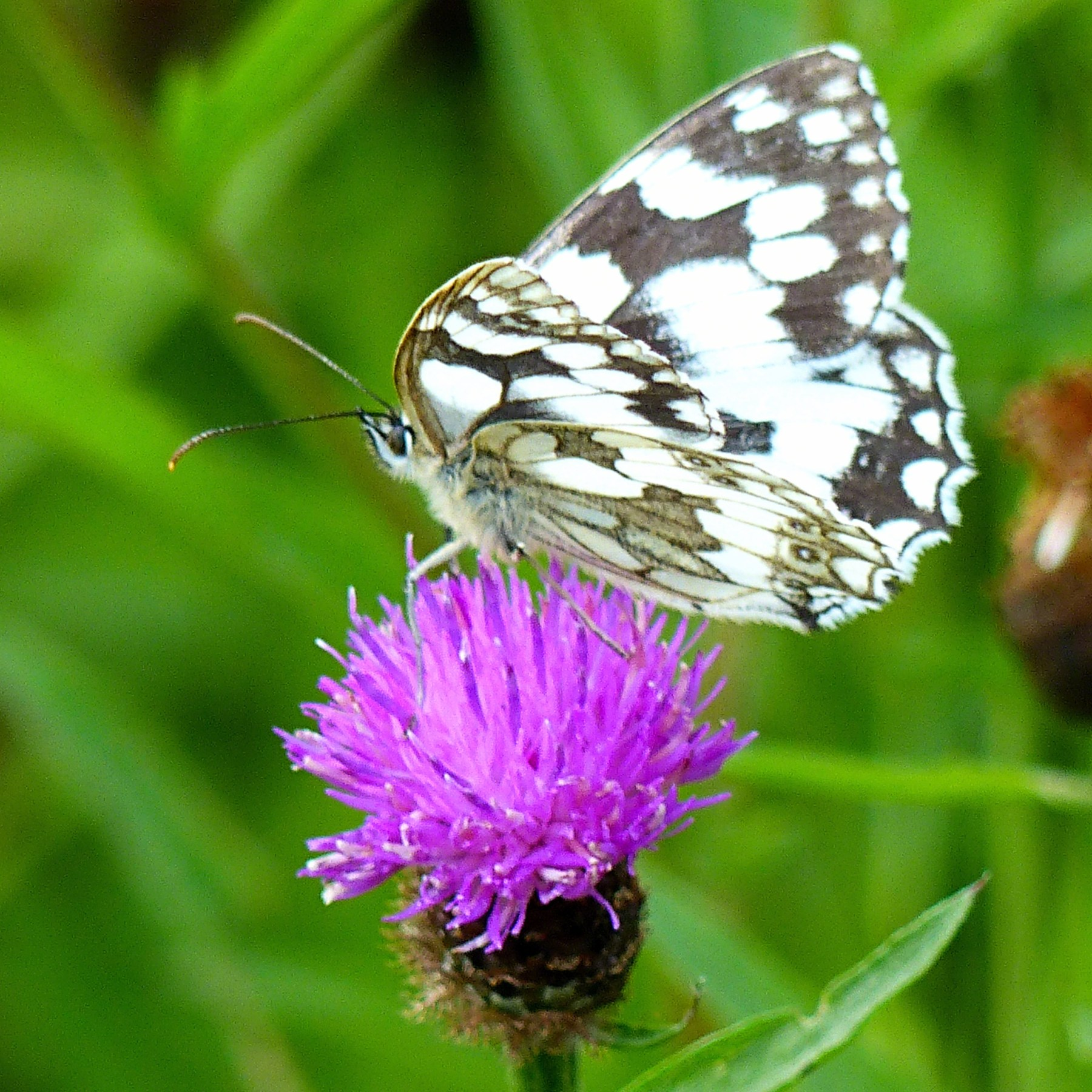 Marbled White butterfly on Knapweed