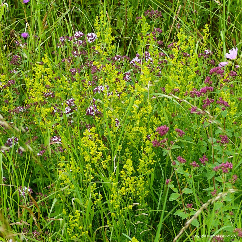 Yellow flowers of fragrant Lady's Bedstraw with purple Wild Marjoram