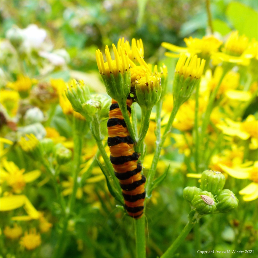 Orange and black caterpillar of the Cinnabar Moth on Ragwort