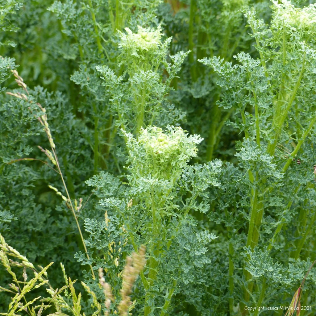 Leaves and the beginnings of flower buds in Ragwort