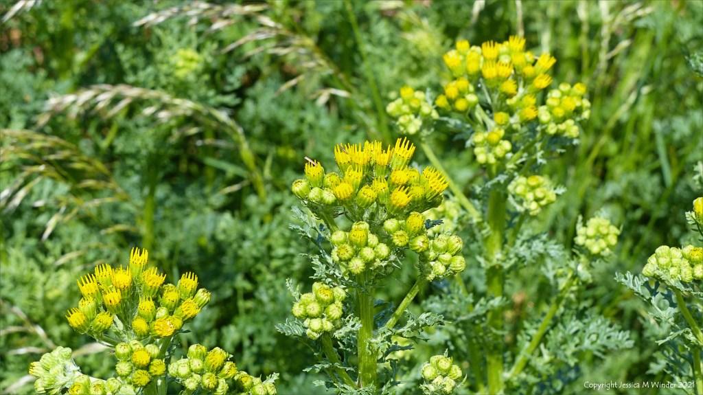 Flower buds on Ragwort
