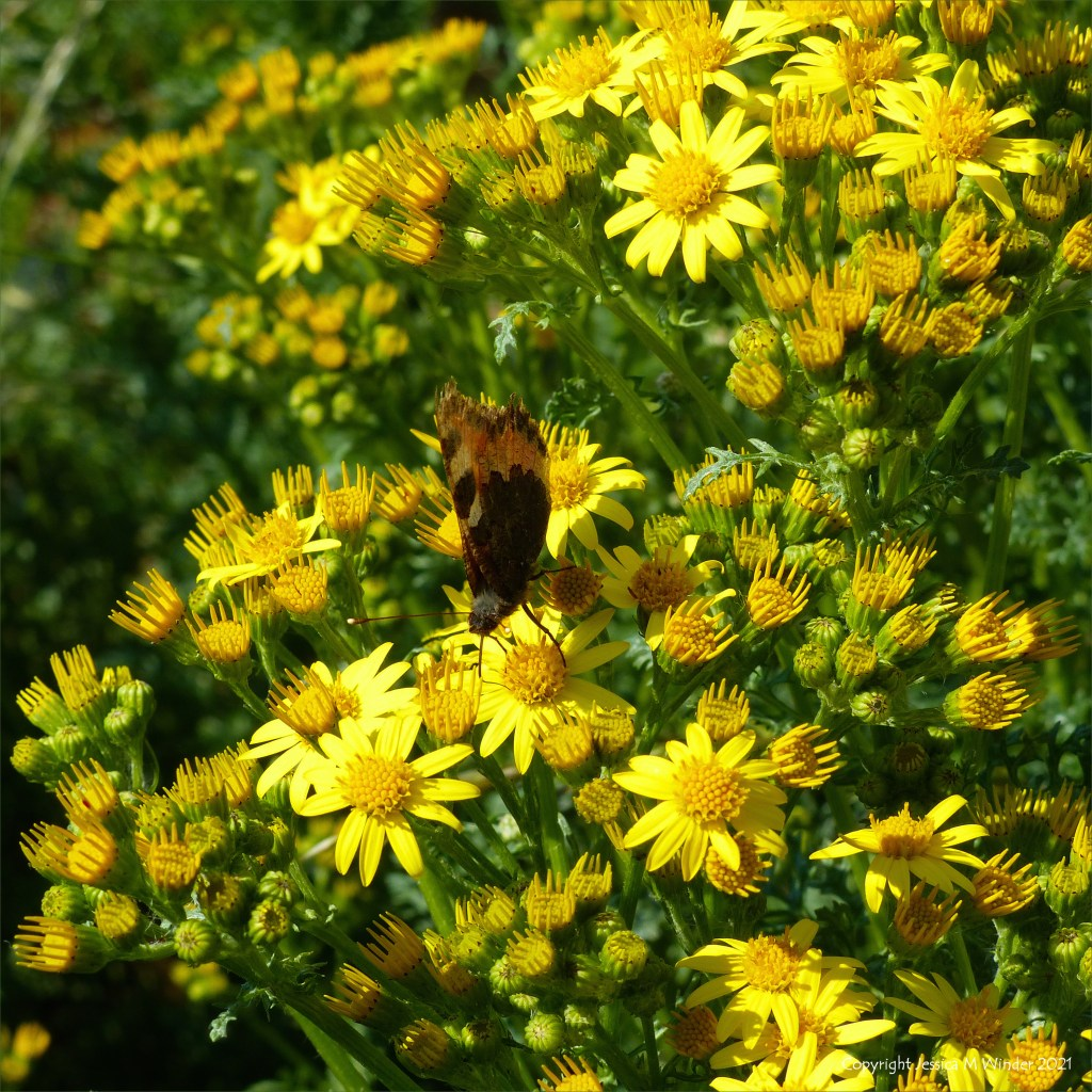 Yellow flowers of Ragwort with butterfly