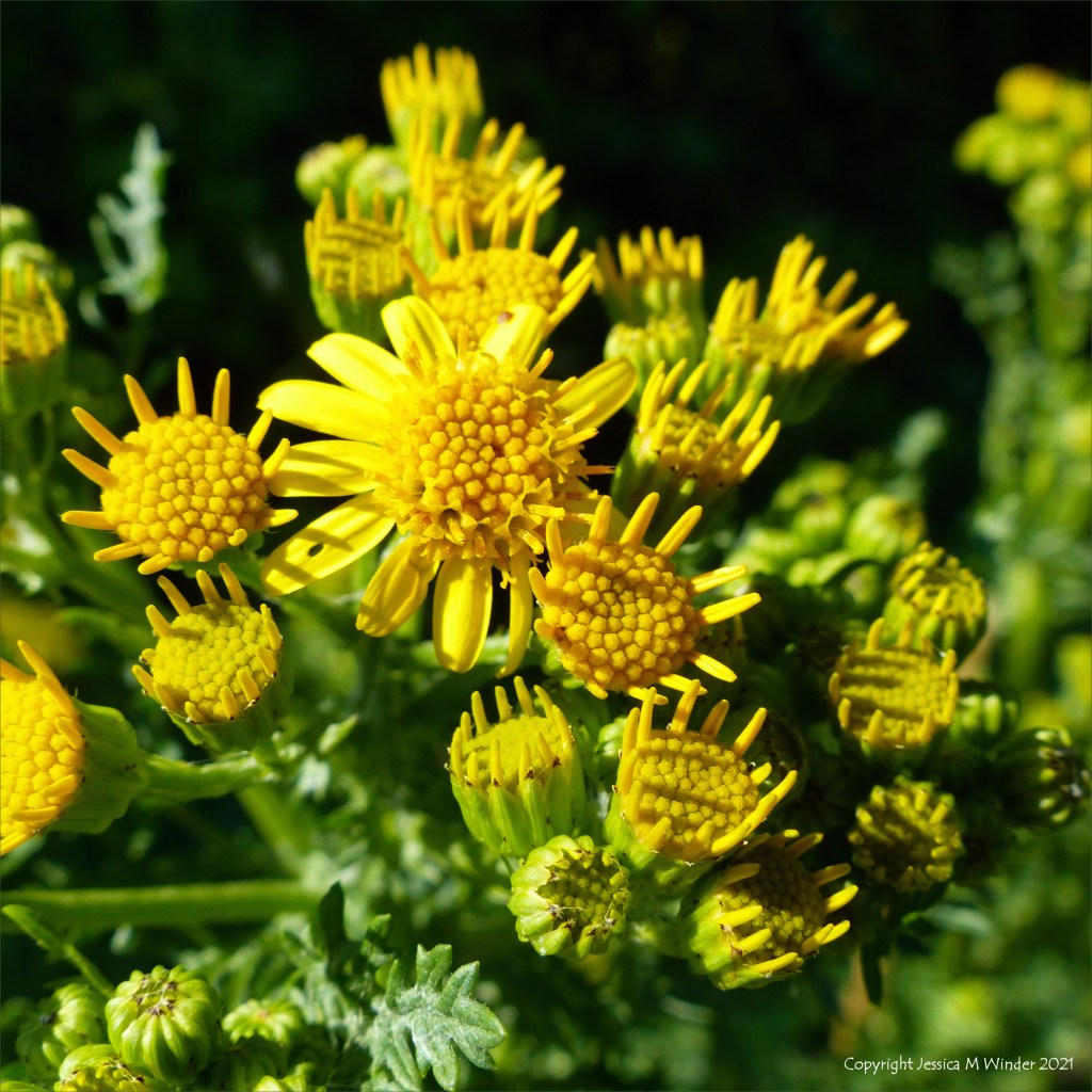 Yellow Ragwort flowers just opening