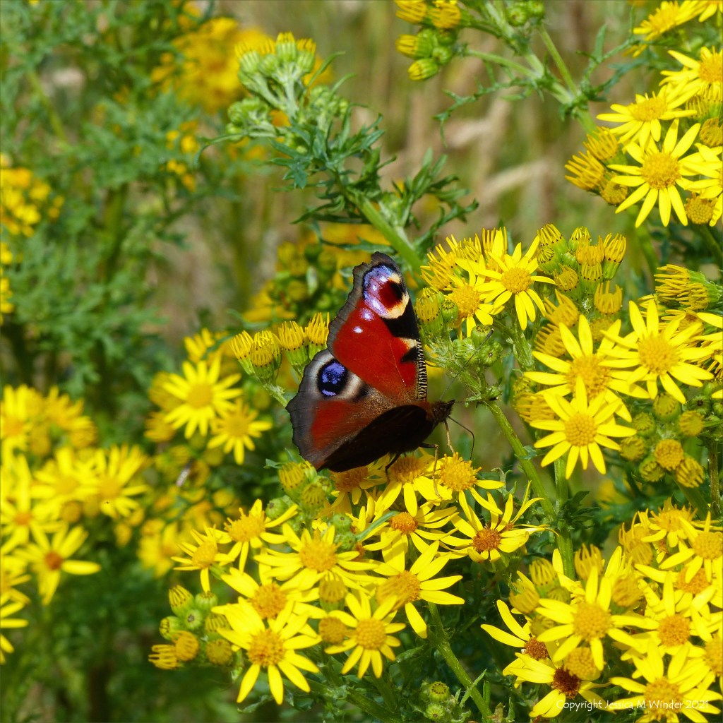 Yellow flowers of Ragwort with Peacock butterfly