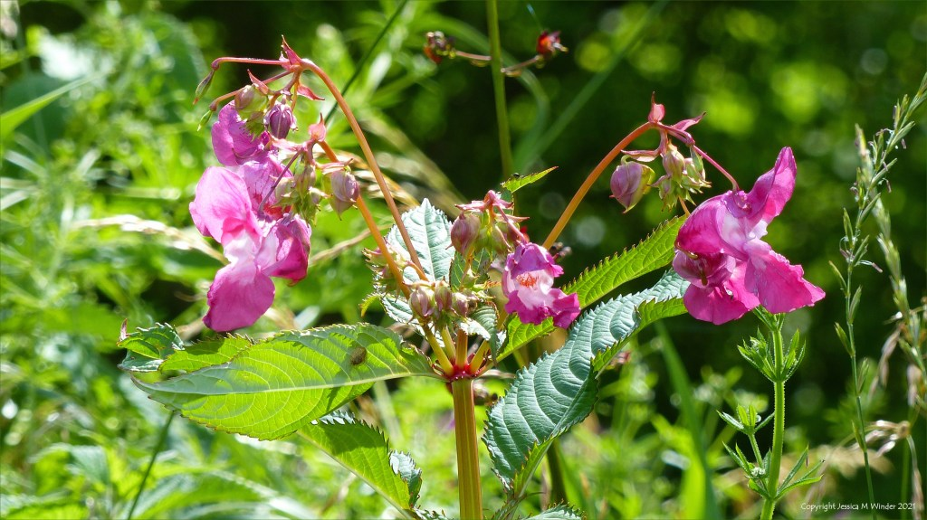 Flowers of the Himalayan or Indian balsam (Impatiens glandulifera) growing on the riverbank