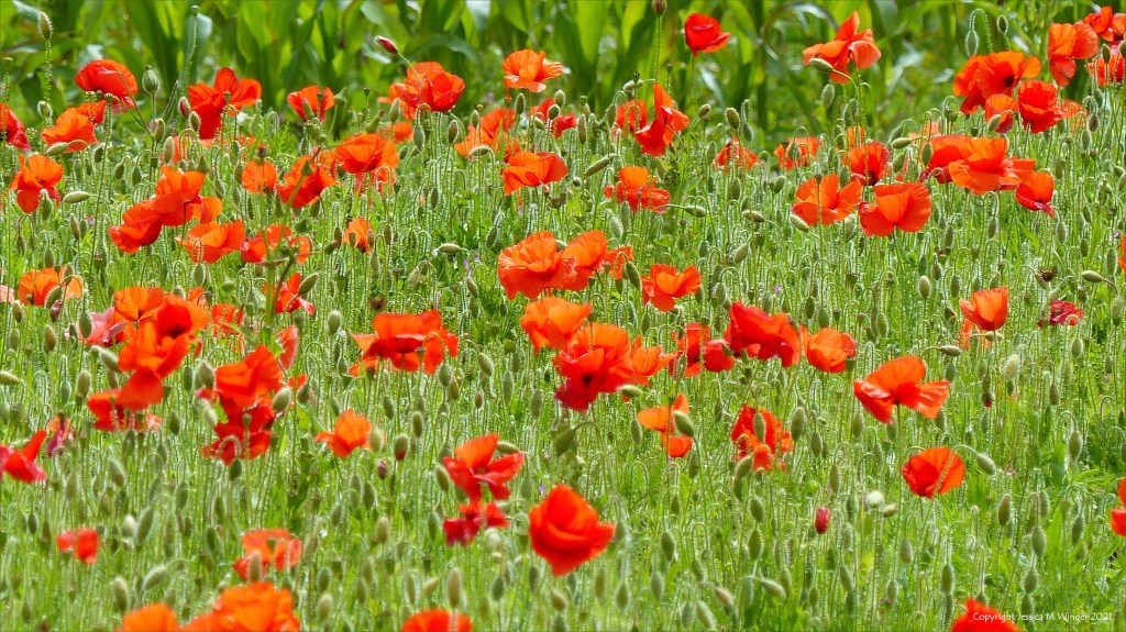 Poppies on the uncultivated margin of a field of maize