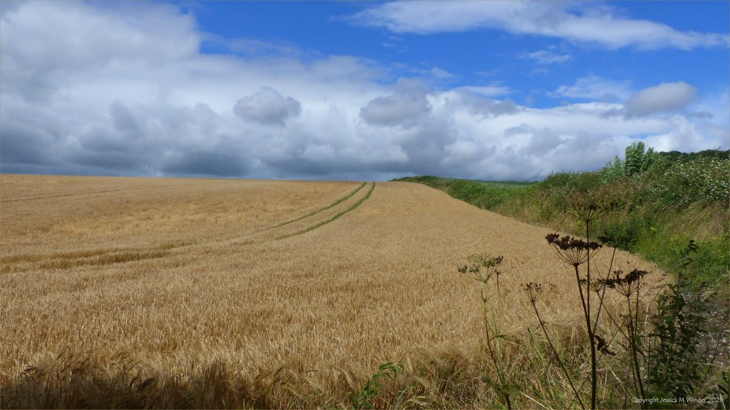 Barley field on a summer day with blue sky at Charlton Down