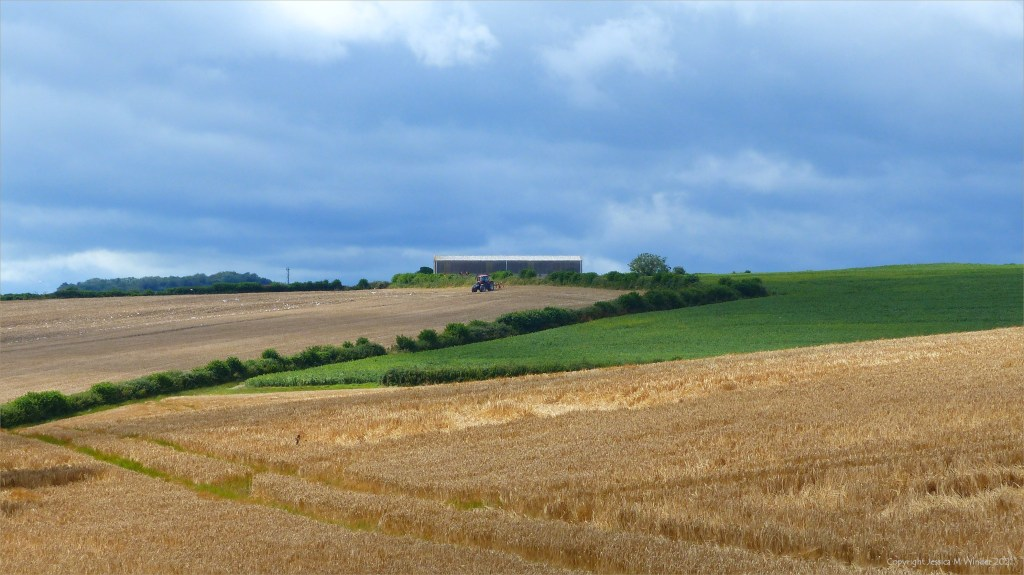 Cultivated fields in summer at Charlton Down in Dorset