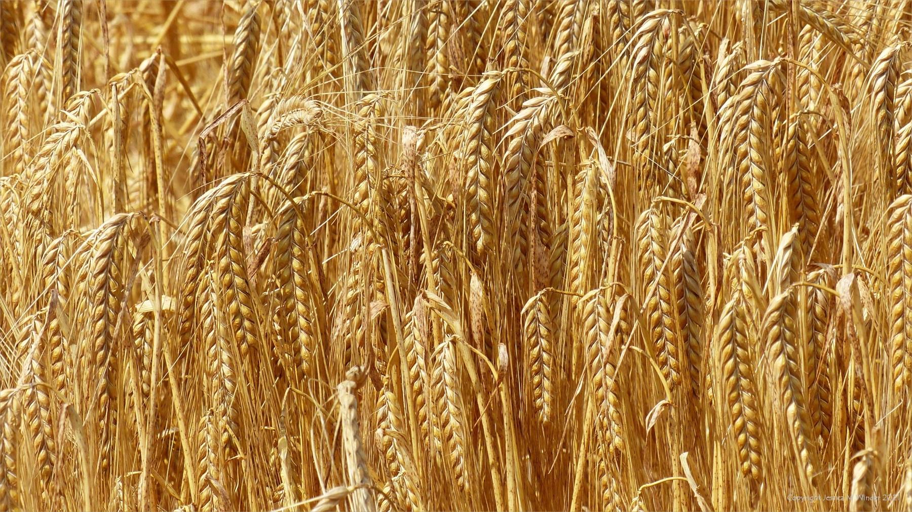 Close-up of ripening golden barley crop