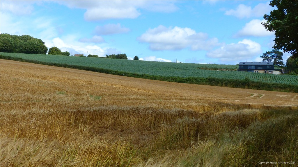 Cultivated fields in summer on the edge of Charlton Down in Dorset