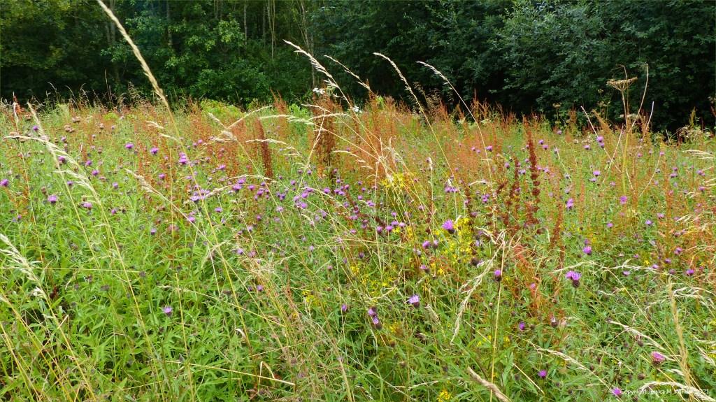 Flowers in a Dorset meadow