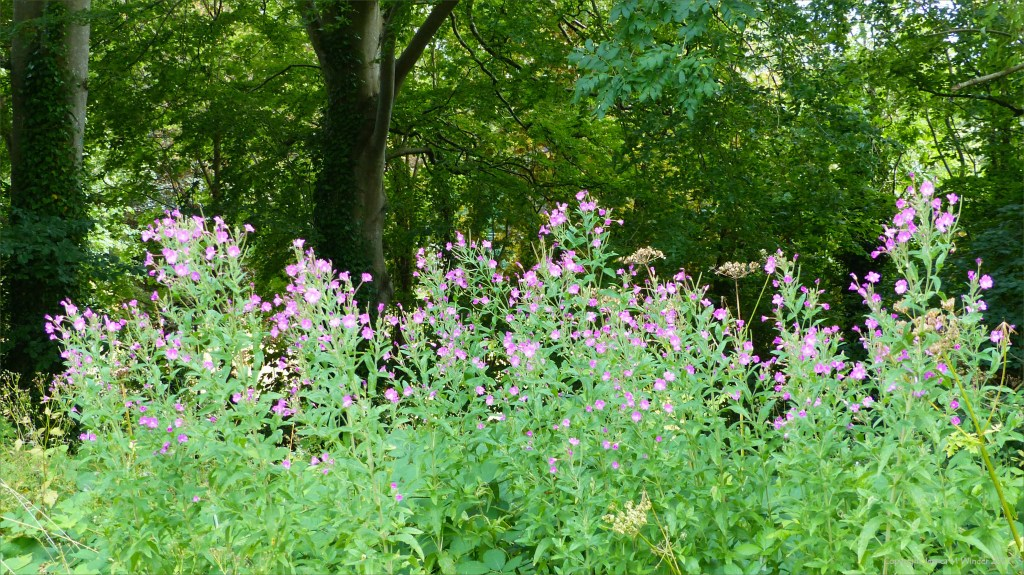 Pink flowers of Great Willowherb growing by trees