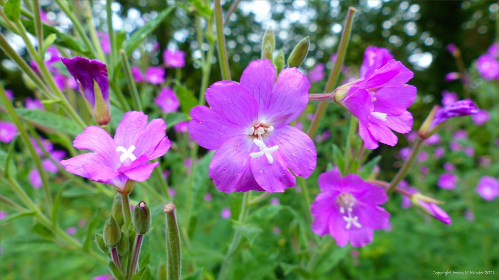 Close-up of pink flowers of Great Willowherb