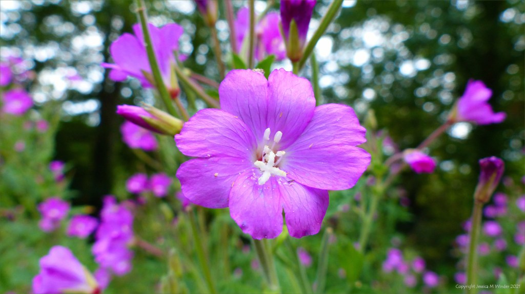 Close-up of pink flower of Great Willowherb