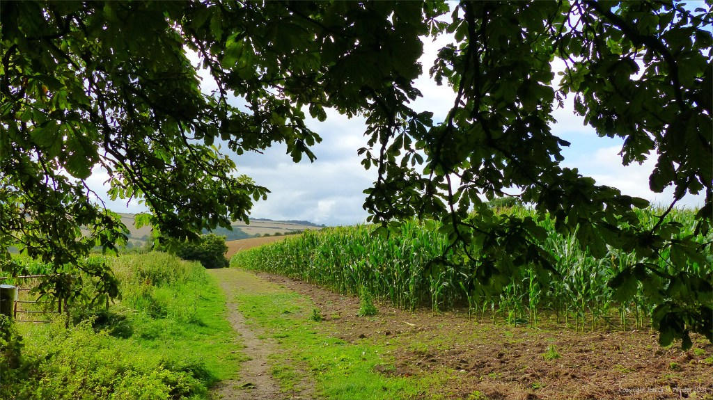 Dorset countryside view with field of maize on a rainy afternoon