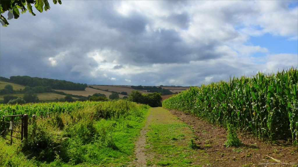 Dorset countryside view with fields of maize on a rainy afternoon