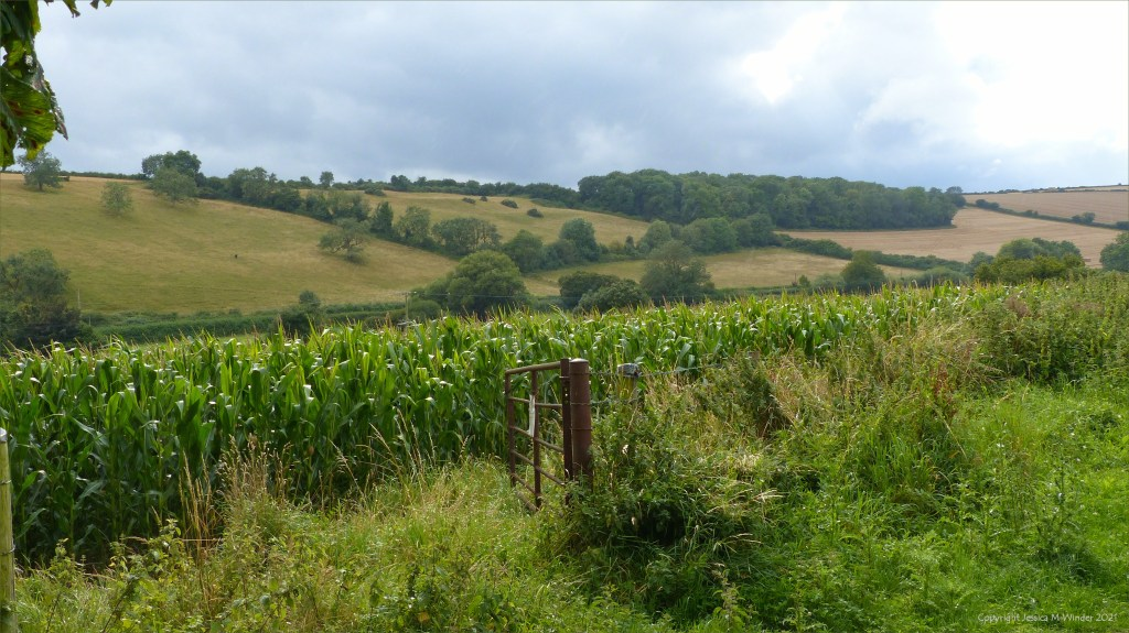 Dorset countryside view with a field of maize on a rainy afternoon