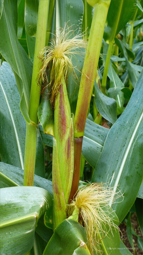 Detail of corn cob developing on maize growing in a Dorset field on a rainy August afternoon