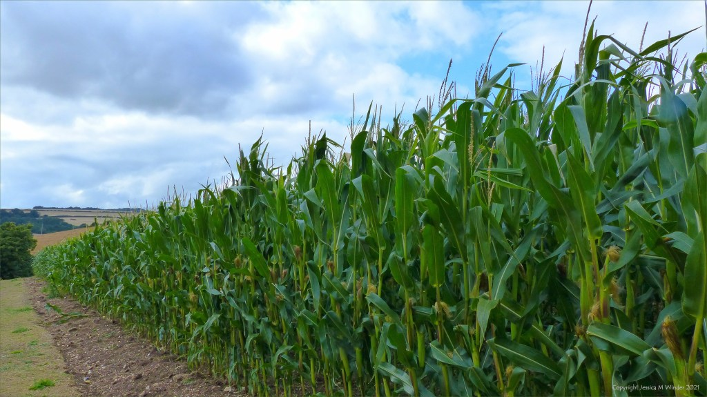 Maize growing tall in a Dorset field on a rainy August afternoon