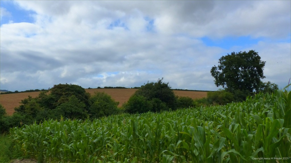 Dorset countryside view with standing crops in the fields and hedgerows