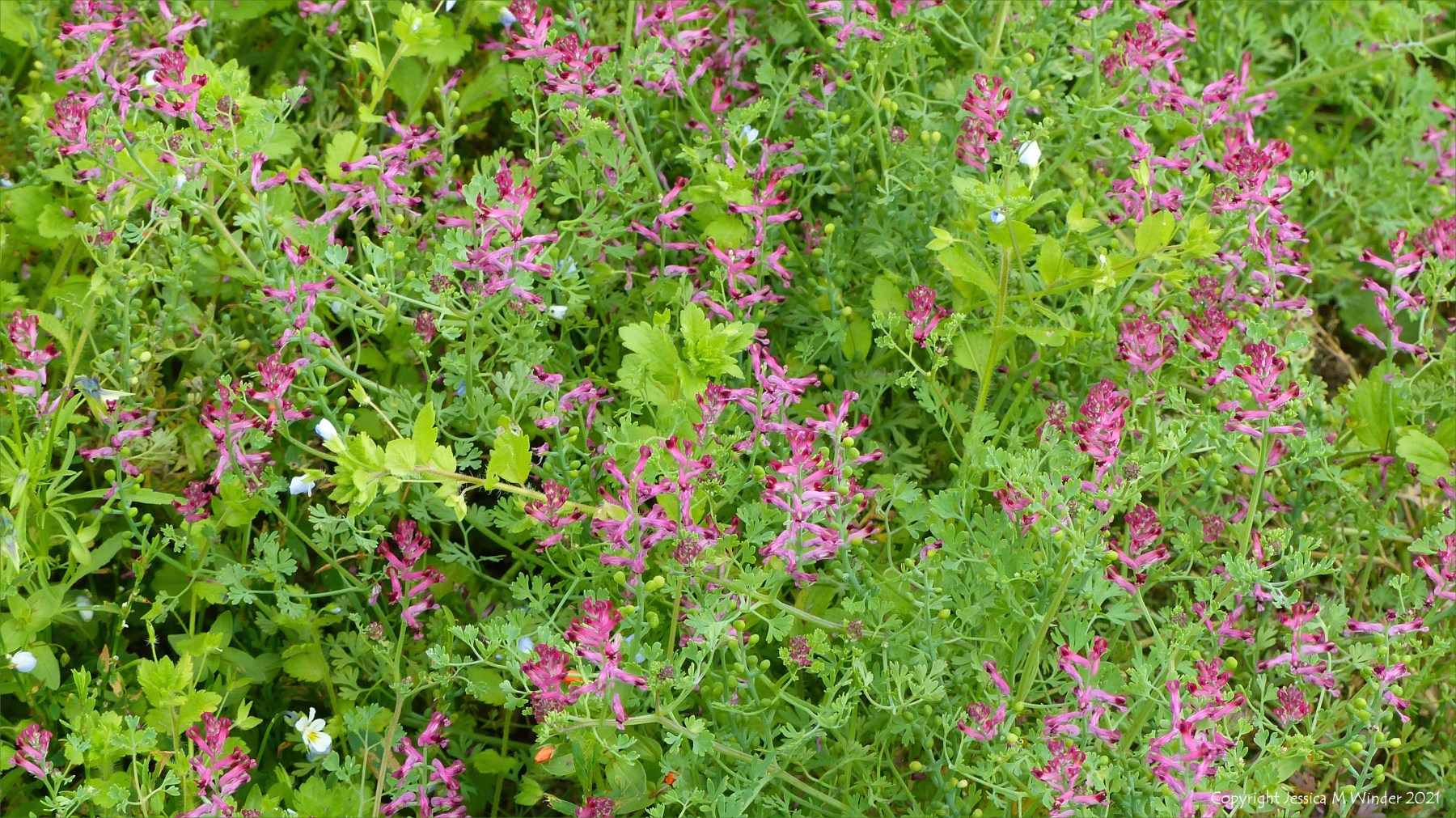 Pink flowers of the arable weed called Common Fumitory