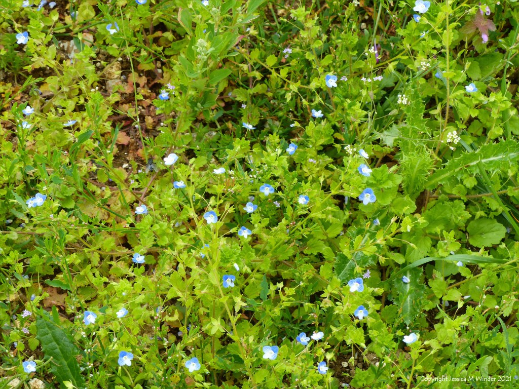 Small blue flowers of Common Field-speedwell - an arable weed