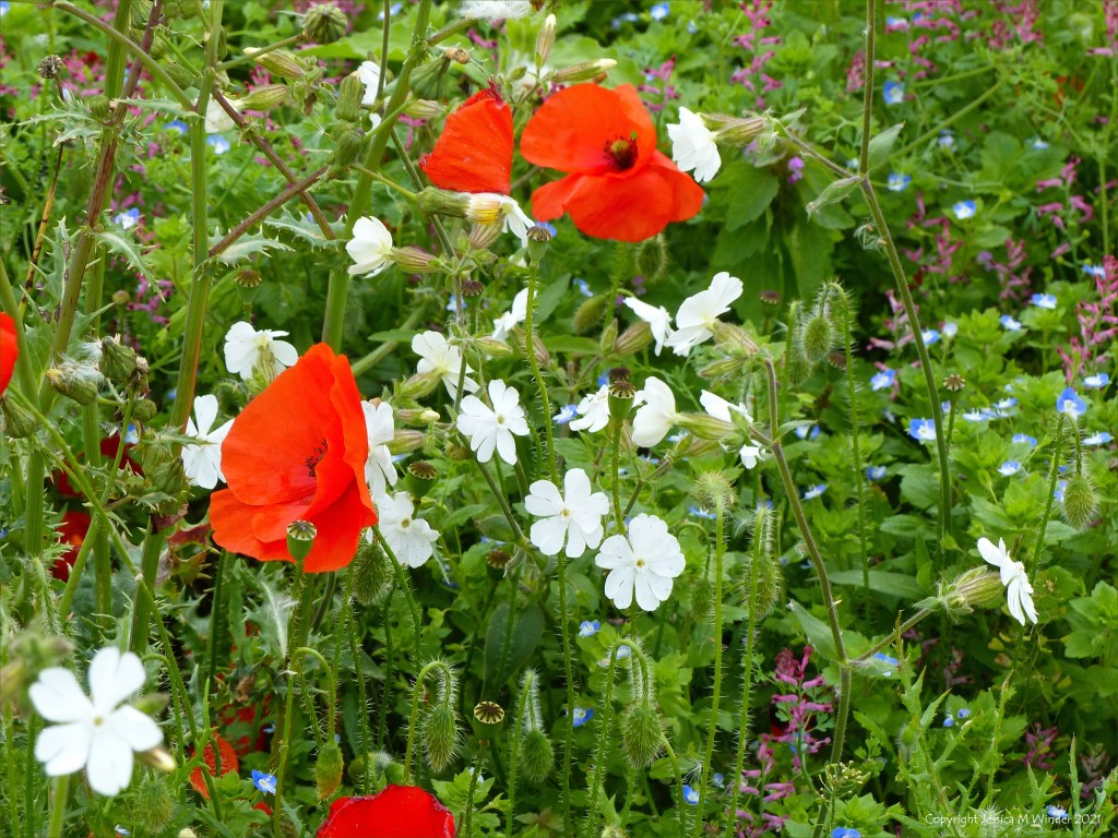 White Campion flowers (Silene latifolia) with poppies and other arable weeds