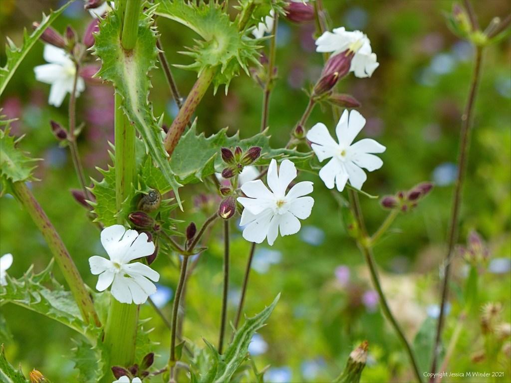 White Campion flowers (Silene latifolia) among other arable weeds