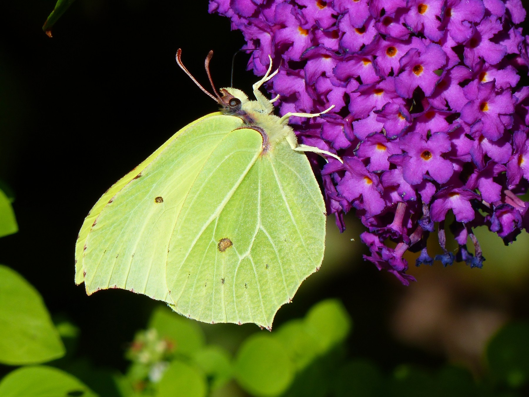 Brimstone Butterfly on Buddleia