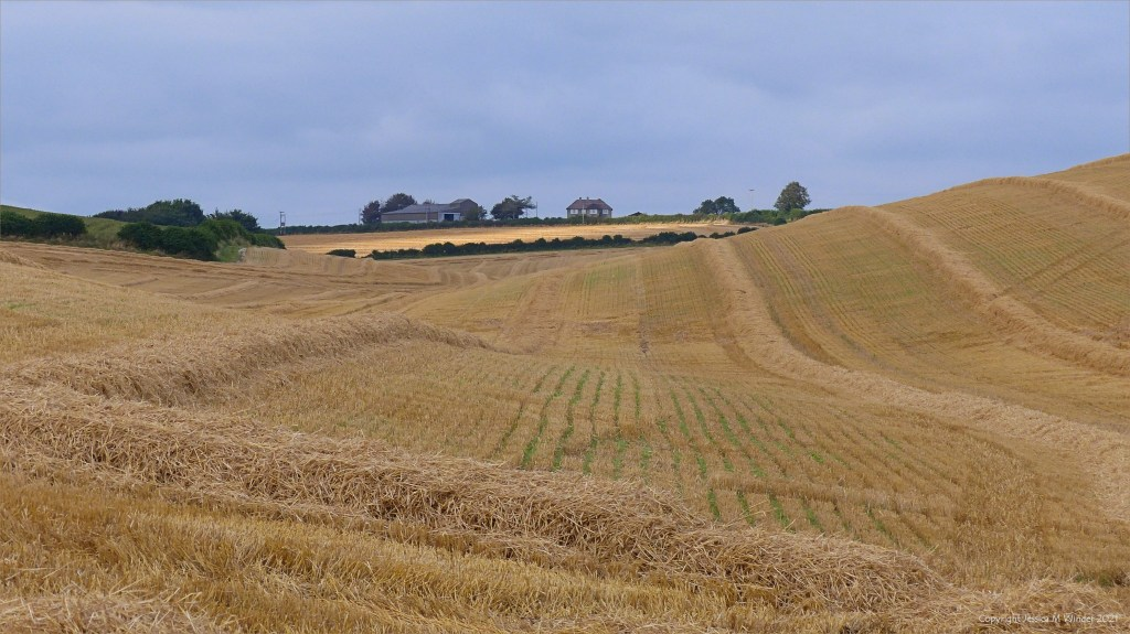 Rows of straw from the barley harvest in undulating fields of Dorset countryside