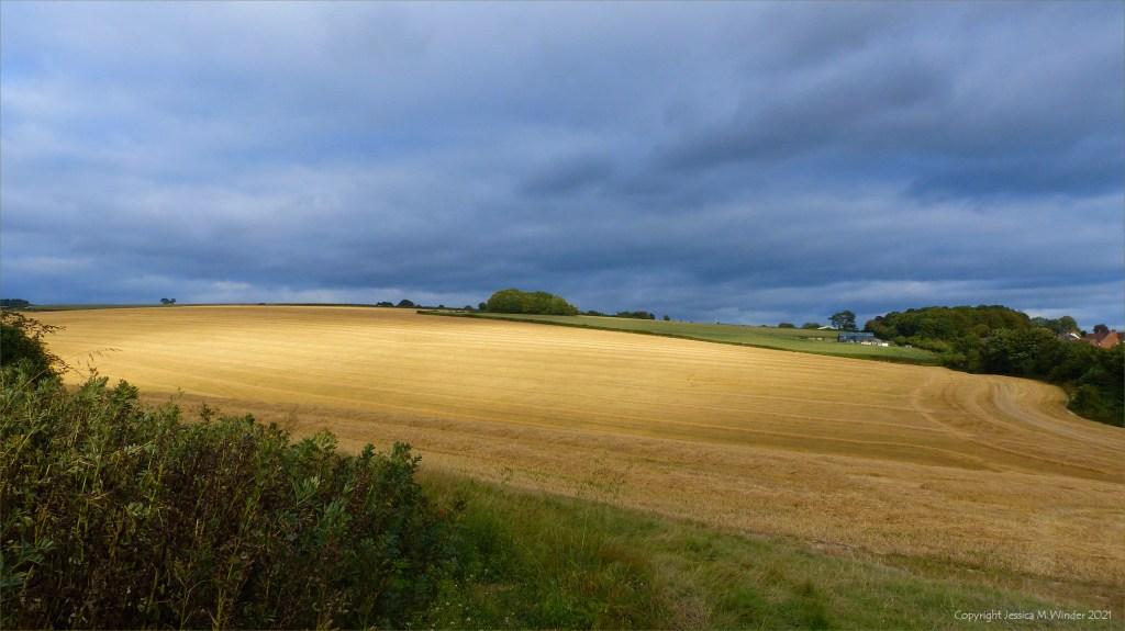 Dorset barley field harvest in evening light