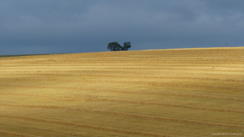 Sunlight of rows of straw in a recently harvested barley field