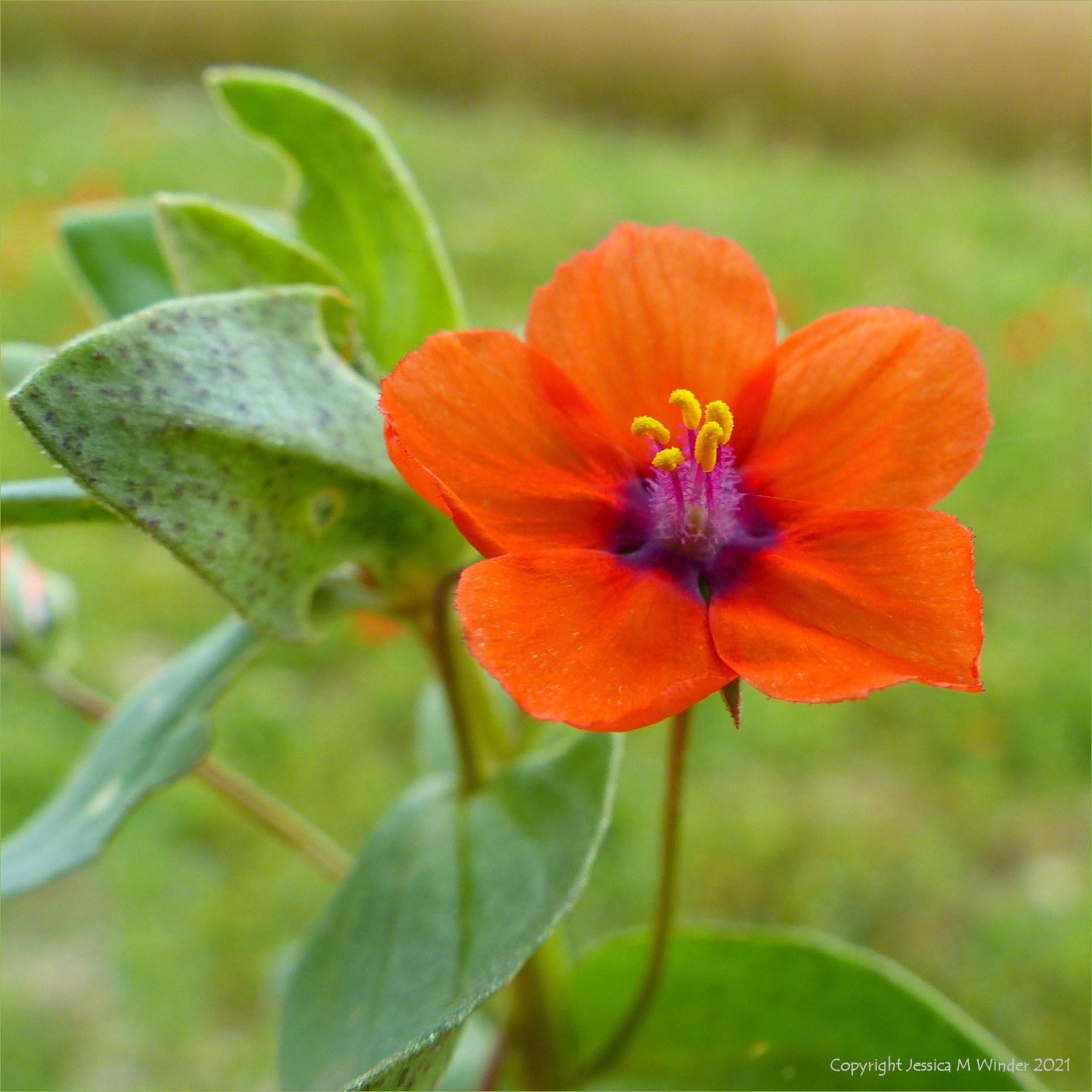 Orange flower of Scarlet Pimpernel close up