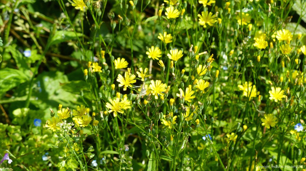 Yellow flowers of Nipplewort in an uncultivated field strip of arable weeds