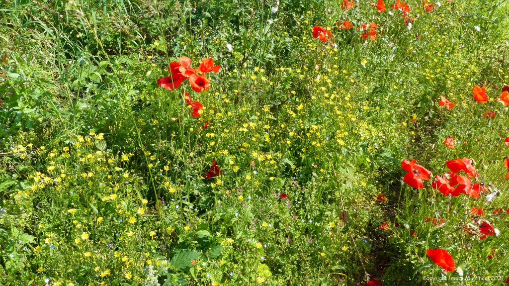 Yellow flowers of Nipplewort with red poppies in an uncultivated field strip