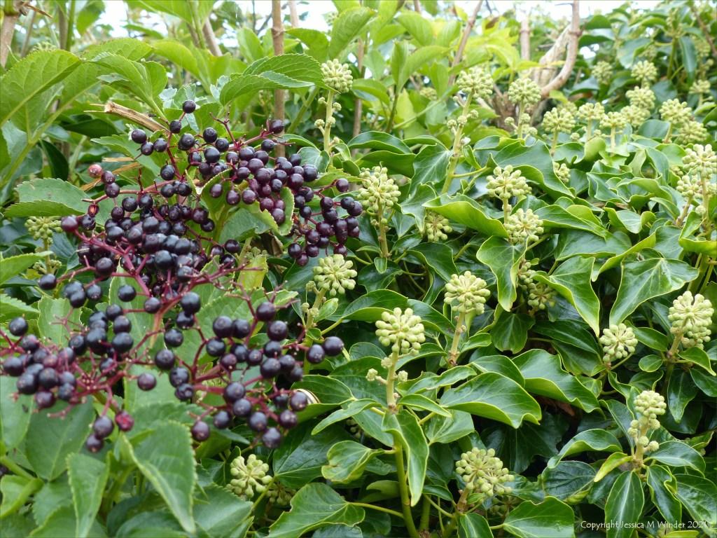 Ivy flowers in bud with elderberries and leaves