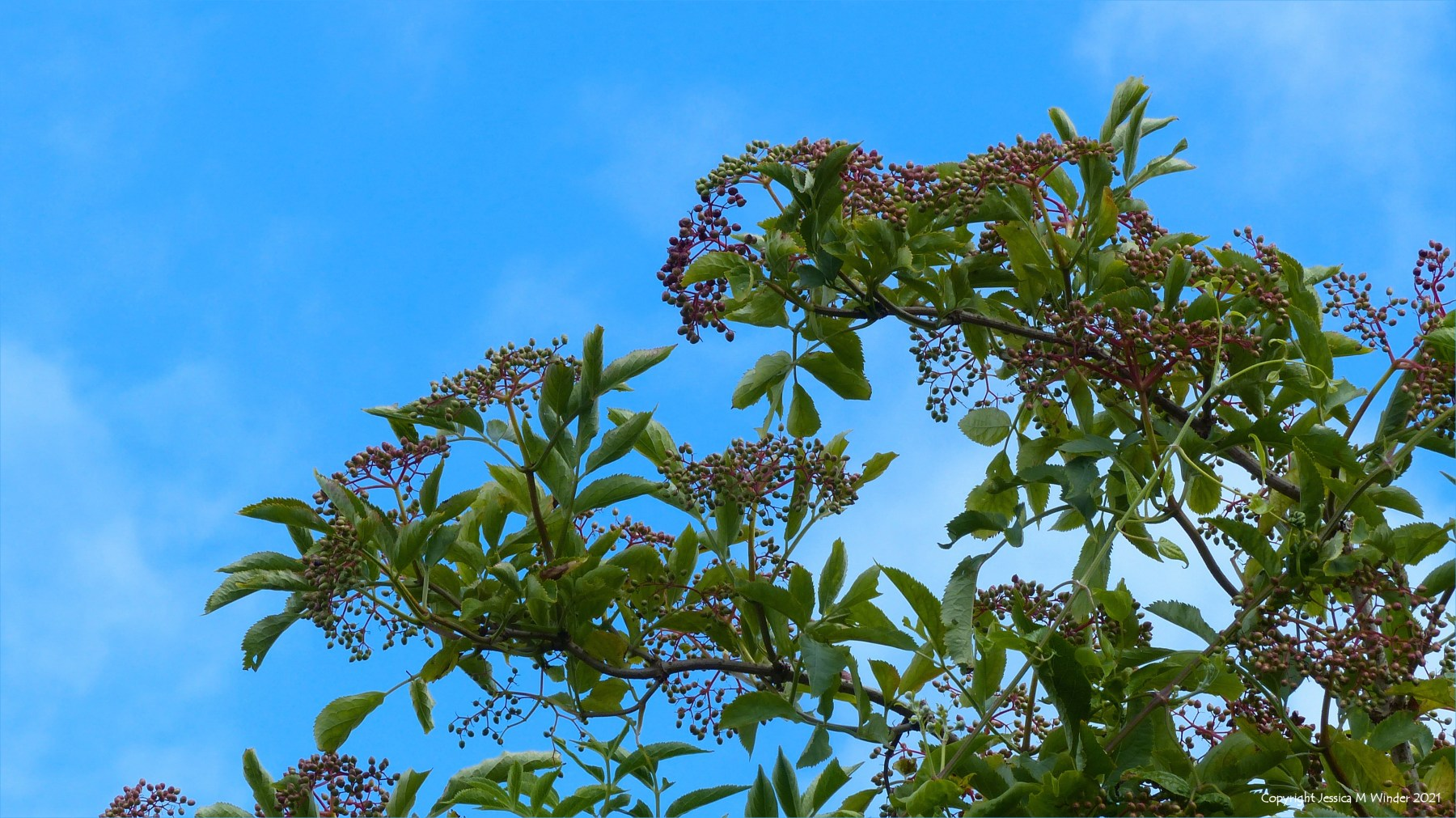 Unripe Elderberries in a hedgerow
