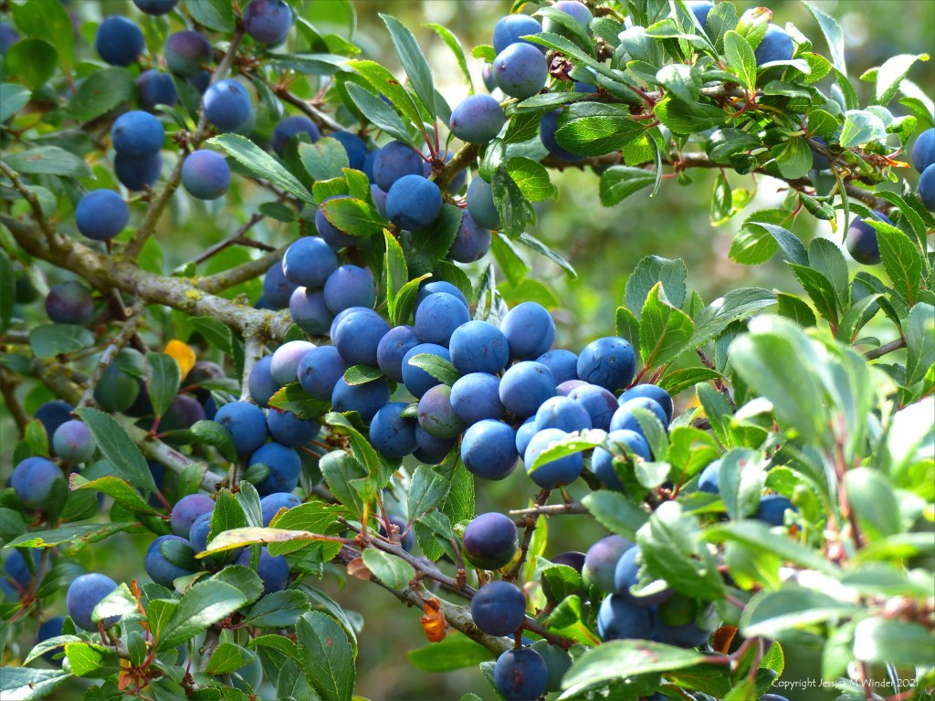 Sloes, fruits of Blackthorn, ripening in the hedgerow