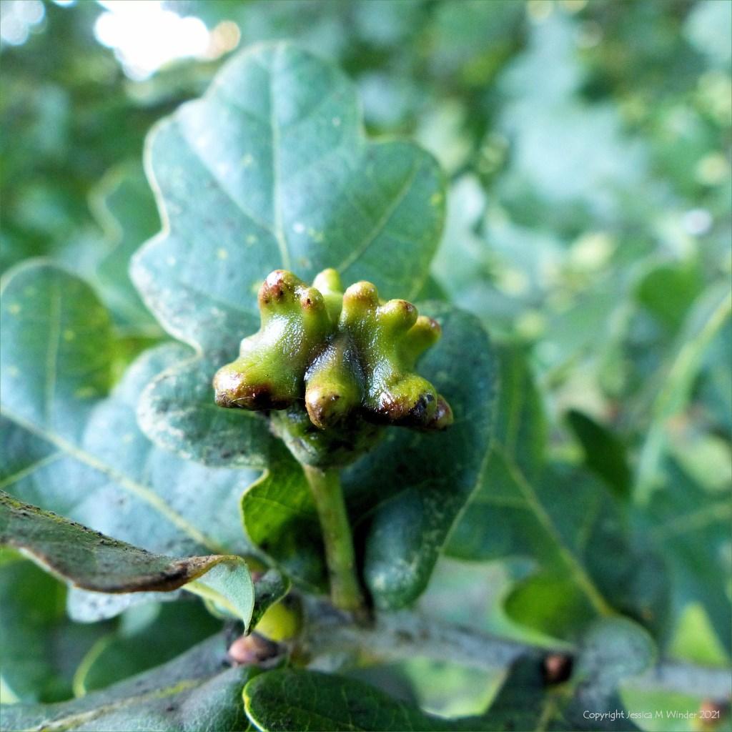 Acorn Knopper Gall on oak